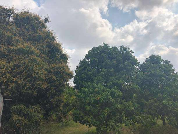 12 HA Mango Farm and Land For Sale