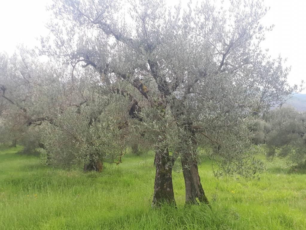 Terreno Agricolo - Oliveto